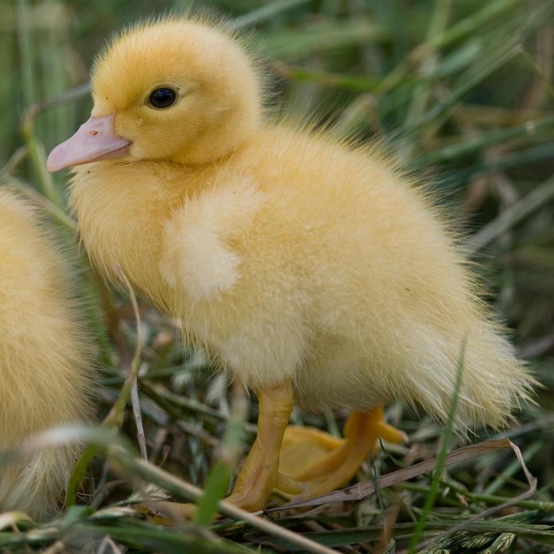 Ducklings 011 by 88-Lawstock
