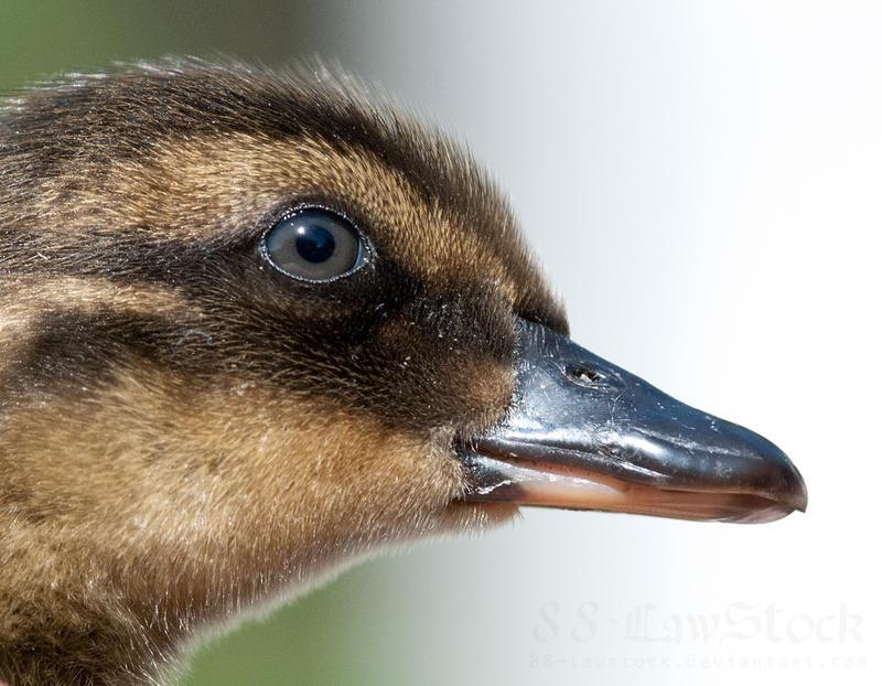 Ducklings 024 by 88-Lawstock
