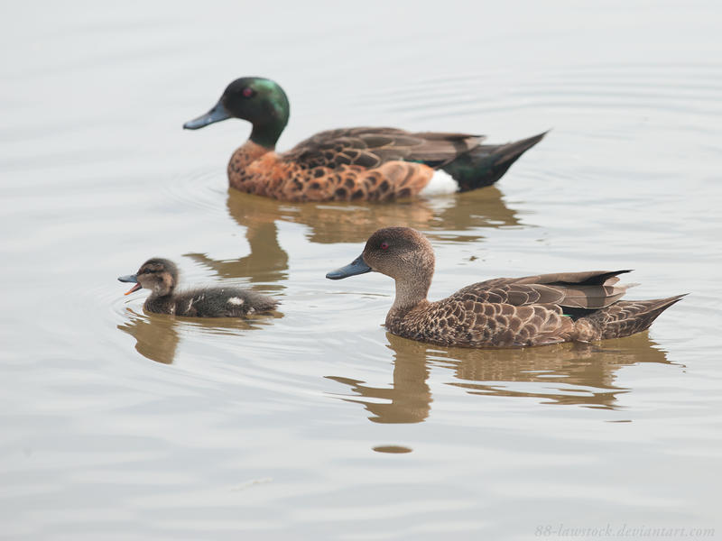 Chestnut Teal 03 by 88-Lawstock