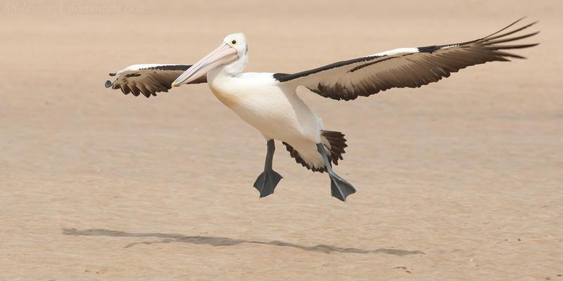 Australian Pelican 09 by 88-Lawstock