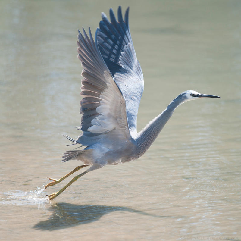 White faced Heron 02 by 88-Lawstock