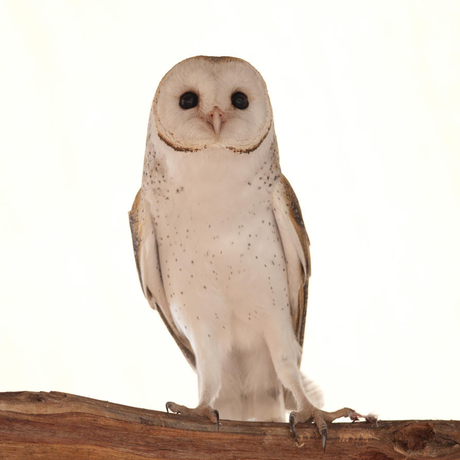 Australian Barn Owl 01 by 88-Lawstock