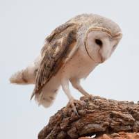 Australian Barn Owl 02 by 88-Lawstock