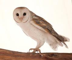 Australian Barn Owl by 88-Lawstock