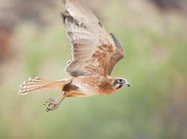 Brown Falcon in flight by 88-Lawstock