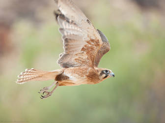 Brown Falcon in flight by 88-Lawstock