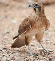 Falco berigora by 88-Lawstock