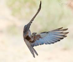 Falco berigora in flight by 88-Lawstock
