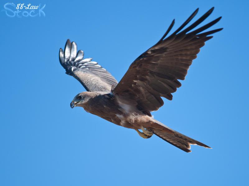 Black Kite 01 by 88-Lawstock