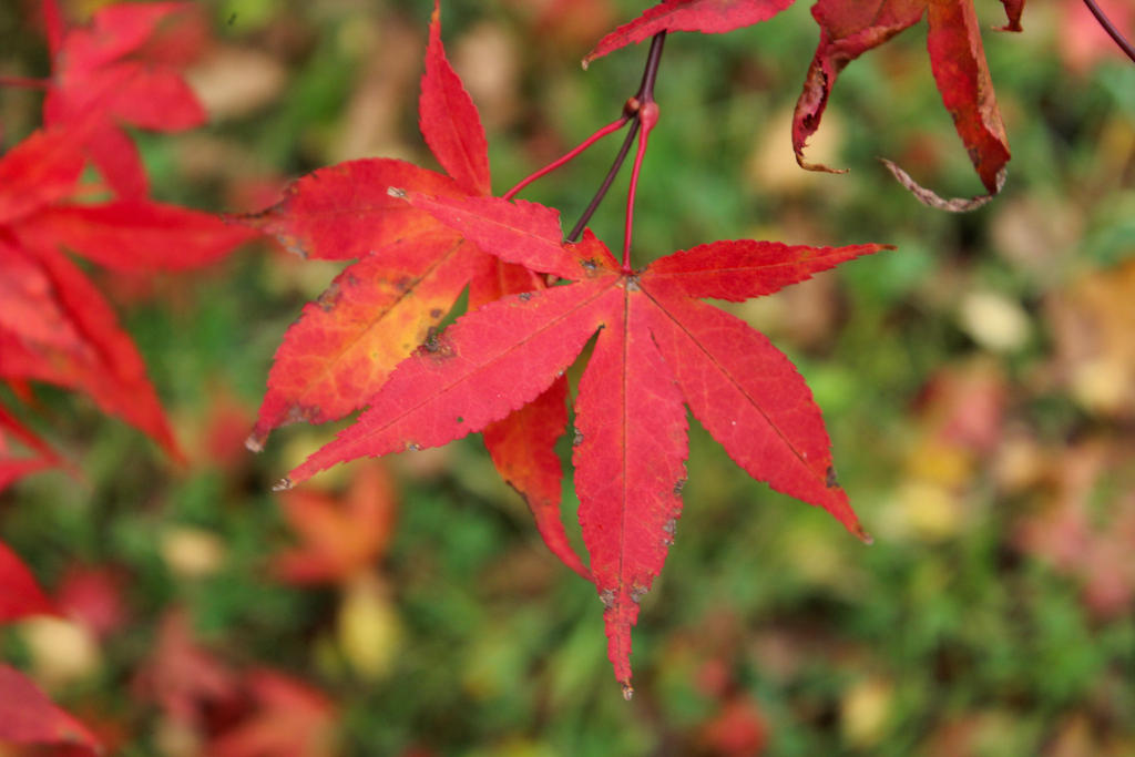 Acer Red by rayofsunshine333