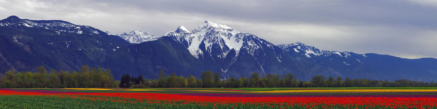 Tulips Pano by jasonwilde
