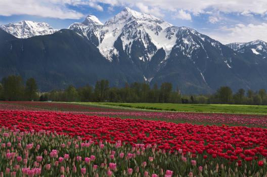 Agassiz Tulips