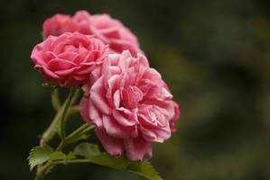 Roses by Feasul-Oniisama