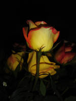 roses by freespirited
