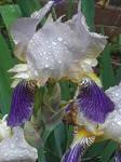 Watery Iris I