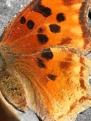 Fiery Butterfly Wing