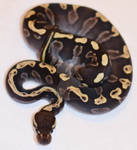GHI Mojave Ball Python