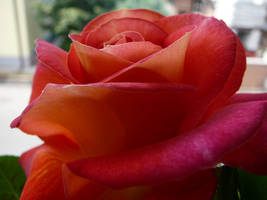Rose 1 by eugeal-stock
