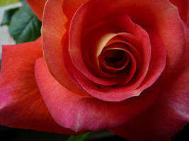 Rose 2 by eugeal-stock