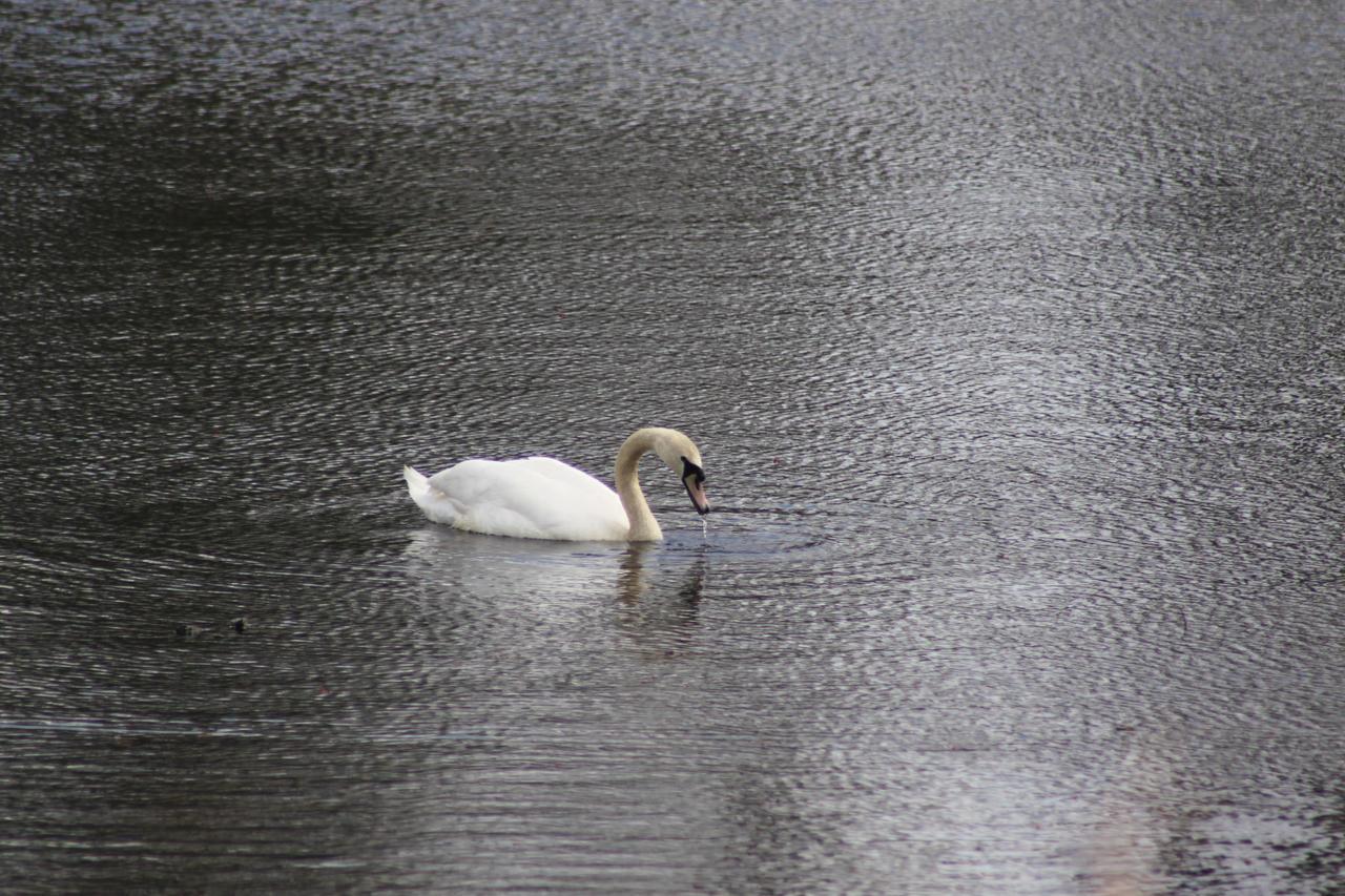feeding swan by missayeka