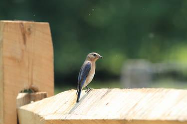 blue bird by missayeka