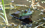 Green Frog by missayeka