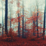 Red Woods In Mist