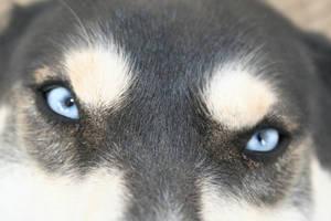 Siberian Husky Blue Eyes Stock by EssenceOfPerception