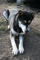 Siberian Husky Stock 005 by EssenceOfPerception