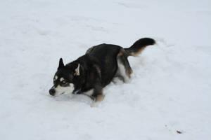 Siberian Husky Stock 023 by EssenceOfPerception