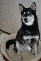 Siberian Husky Stock 027 by EssenceOfPerception