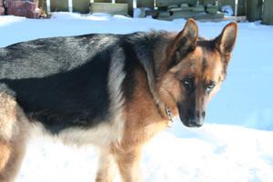 German Shepherd Stock 016