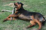 Rotti Dog Stock 006