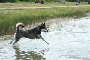 Siberian Husky Stock 029 by EssenceOfPerception
