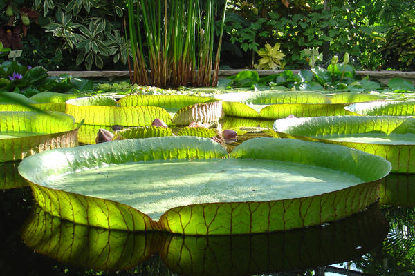 victoria royal giant waterlily