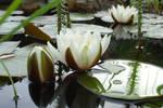 More Waterlilies