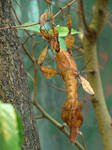Phyllis - Leaf Insect