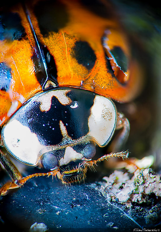 Coccinellidae by Auraomega