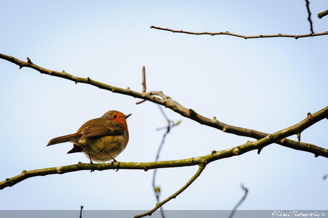 Robin at Rutland Water by Auraomega
