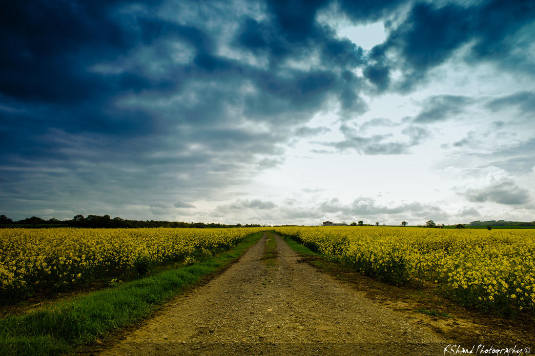 Fields of Rapeseed by Auraomega