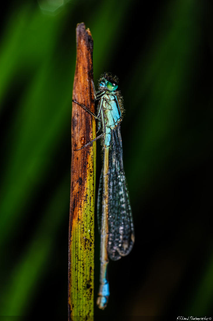 Blue-tailed Damselfly 3 by Auraomega