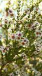 Australian Plants I