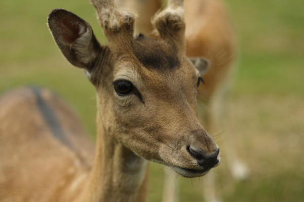 Longleat Deer by kla91