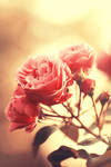 The allure of roses