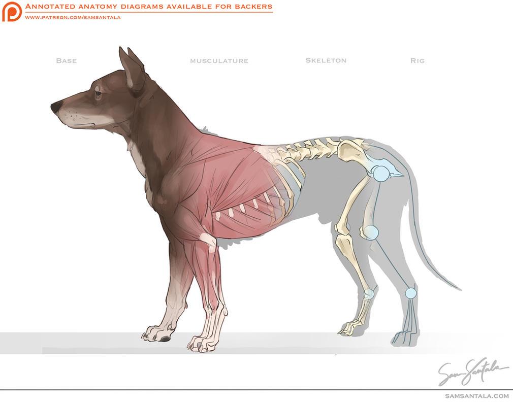 Canine Anatomy by SamSantala on DeviantArt