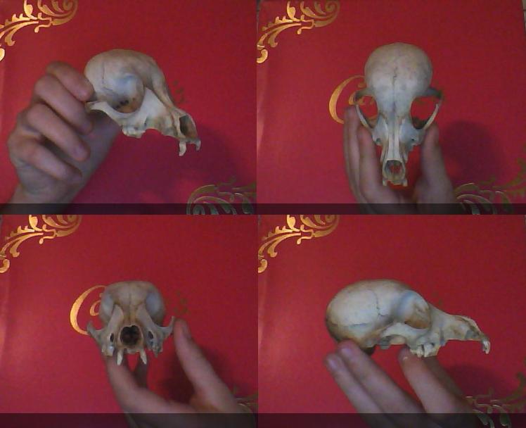 Unidentified Skull - HELP by xDoglate