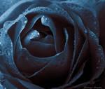Midnight Rose by JanuarysDaughter