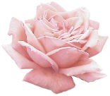 Extracted pink rose - transparent png by rosilutfi