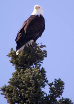 Wild Alaskan Bald Eagle