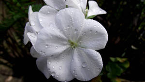 White geranium with drops
